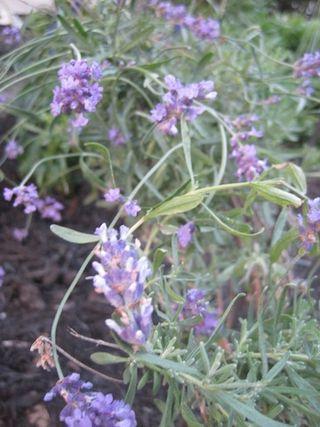 LavenderCU-1