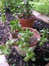 Jadeplants